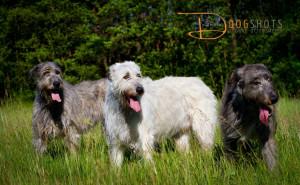 wolfshound3